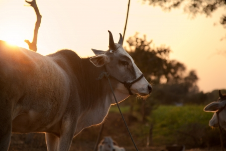 brahman: Indian cow in farm land in a village Stock Photo