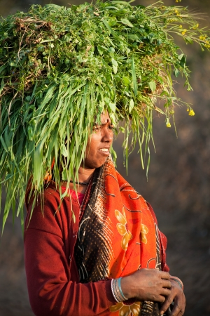 burdened: Indian happy villager woman carrying green grass home for their livestock