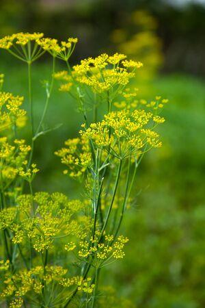 saunf: Blooming fennel flower spice in spring on garden in light
