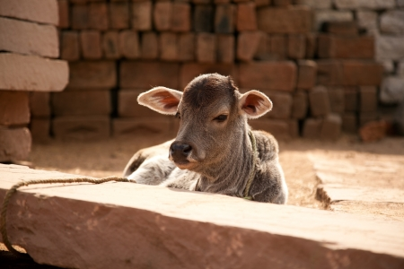 brahman: Indian cow baby  calf   sitting in village