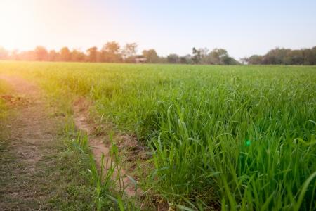planta de maiz: Este campo de ma�z es de color verde intenso bajo el sol del verano Foto de archivo