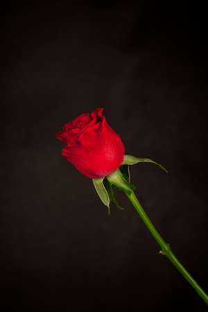 rose bud: Red rose isolated over black background