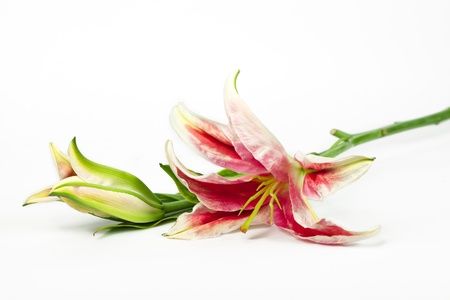 lillies: Colorful flower of lily over white background