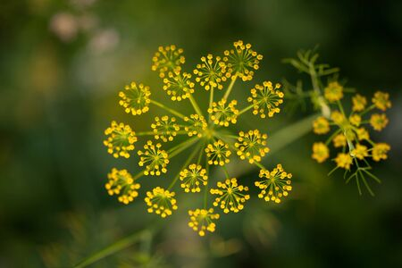 maturing: Flower of fennel Stock Photo