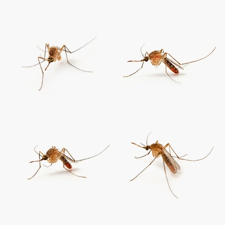 Four Isolated mosquitoes taken with a very close Macro lens