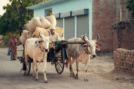 Indian bullock cart or ox cart run by man in village