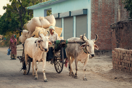 village man: Indian bullock cart or ox cart run by man in village