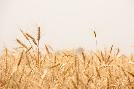 organics: Beautiful Image of Golden Wheat Field