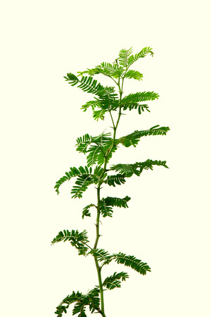 nilotica: Leaves of Vachellia nilotica or babool over white background Stock Photo