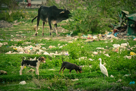 plastic pollution: Plastic pollution during animals in india Stock Photo
