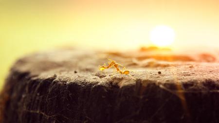 faisant l amour: Close up de deux fourmis qui font l'amour sur un rocher dans le matin