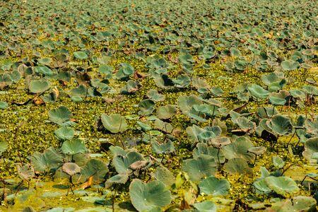 bird sanctuary: Pink Lotus Nelumbo Nucifera field in the Bird Sanctuary lake Nawabganj Unnao Uttar Pradesh India. October 2014.