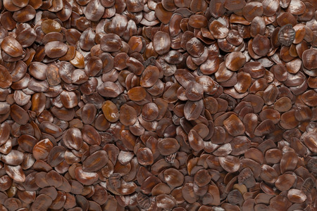 bastard: Organic Bastard Teak or Palaash (Butea monosperma) seed. Macro close up background texture. Top view.