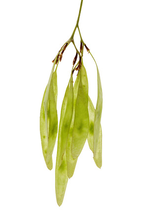 Organic green sheesham ki fali or Indian Rosewood (Dalbergia sissoo) seed pods bunch . Top view isolated over white background .