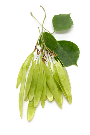 Organic green sheesham ki fali or Indian Rosewood (Dalbergia sissoo) seed pods bunch with few leaves. Top view isolated over white background .