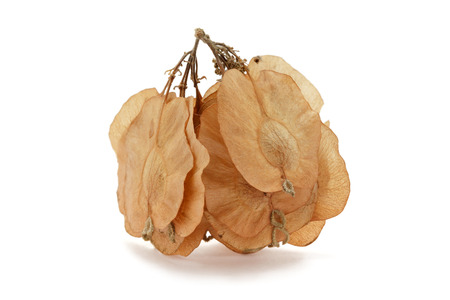 air dried: Organic Air Dried Chilbil or Indian Elm (Holoptelea Integrifolia) winged seed in bunch. Top view isolated over white background . Stock Photo