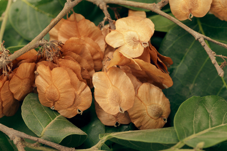 air dried: Organic Air Dried Chilbil or Indian Elm (Holoptelea Integrifolia) winged seeds.