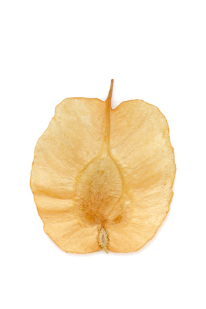 air dried: An Organic Air Dried Chilbil or Indian Elm (Holoptelea Integrifolia) winged seed. Top view isolated over white background .