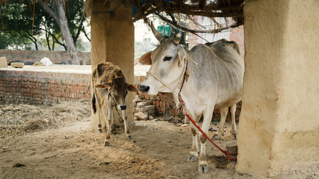 indian village: The cow and its kid calf under the roof of the home farm in an Indian village.