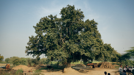 indian village: Very Old Banyan Tree in an Indian village. As on date 5 March 2016, at Kalpi, Uttar Pradesh (India). Editorial