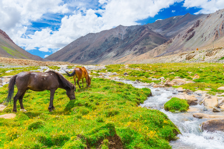 Horses in green grassland with small stream, mountains and blue sky background - roadside view in Leh, Ladakh, India