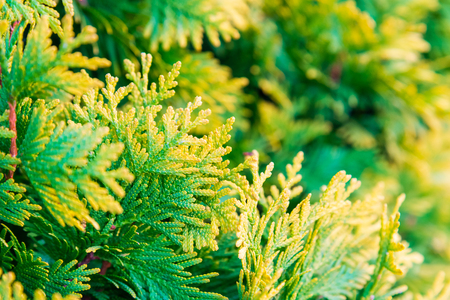 Close up of yellow and green color of Juniper leaves