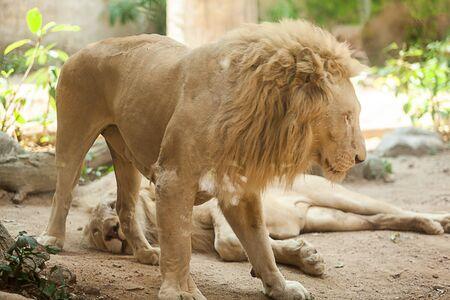 deux lions blancs jouent dans le zoo de thaïlande