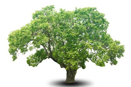 tree isolated on white background for decorating the village garden