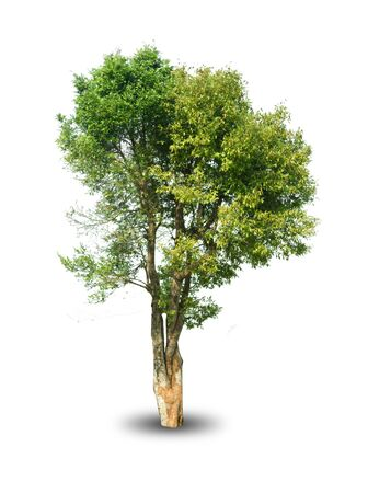 isolated tree on white background for decorating the village garden Standard-Bild