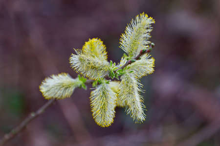 Yellow flowering pussy willow catkins  Stock Photo - 13438529