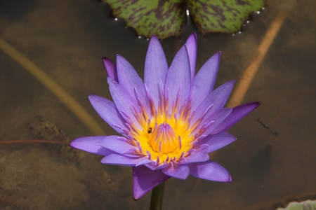 northeast: lotus flowers from northeast  of  thailand Stock Photo
