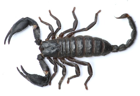 diminutive: Scorpion , be one poisonous kind animal , will liberate the poison goes out iron spinning wheel way that has keen character stays the at the end in the tail but , the poison doesnt be severe only cause the symptoms aches , like to  live under the invento