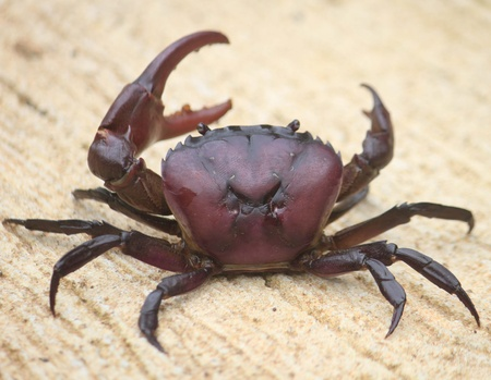 resemble: field crab , be one fresh water kind crab , in Thailand has will fresh water crab , be animal that have no the backbone , there is just a carapace is covered the body , the male is will pregnant tiny slender resemble but [ T letter ] ,  , left side claw w