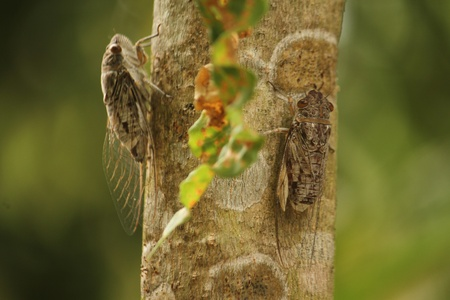 close p: cicada , be an insect that make a noise to cry , a wing is thin , have year vacate time
