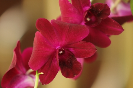 orchid thai: Thai orchidee fiori freschi in bei colori, � ripresa rinfrescante nei pressi di uno sfondo naturale