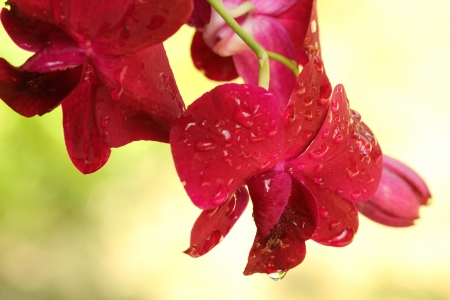 close p: Thai  orchid Fresh flowers in pretty colors, it is refreshing  Shooting near a natural background
