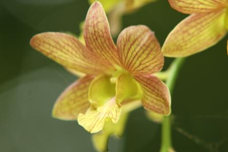 orchid thai: Thai freschi fiori di orchidea in bei colori, � ripresa rinfrescante vicino ad un fondo naturale Archivio Fotografico