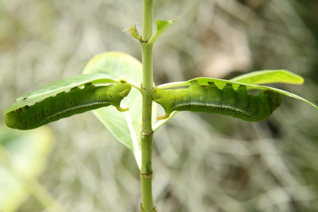 butterfly larva - caterpillar in a tree Stock Photo - 14075479