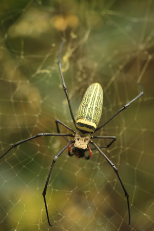 ploy: Photos of the spider trap waiting for prey in its fibers. Stock Photo