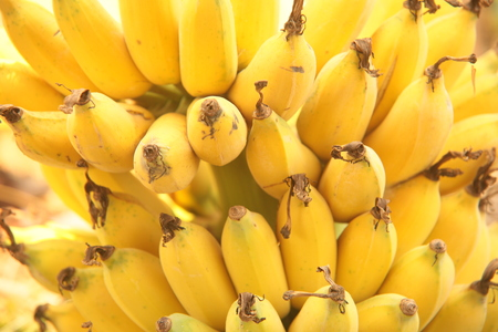 cultivated: Cultivated banana,Thailand