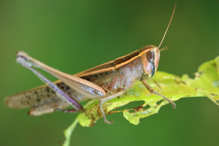 invade: Grasshopper Close  up  Grasshopper on   the leaf. Stock Photo