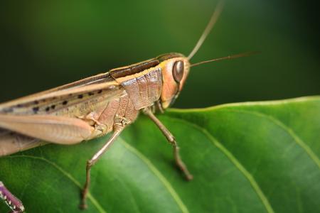 Grasshopper Close  up  Grasshopper on   the leaf. Stock Photo