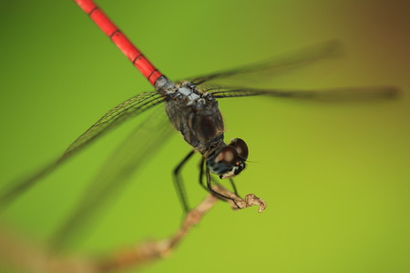 A dragonfly is an insect belonging to the suborder Anisoptera Stock Photo
