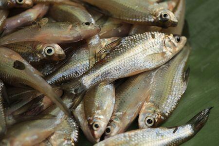 Fish : freshwater fish in Thailand Stock Photo