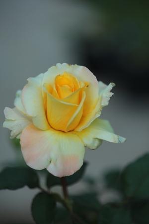 Single  yellow rose  on tree.