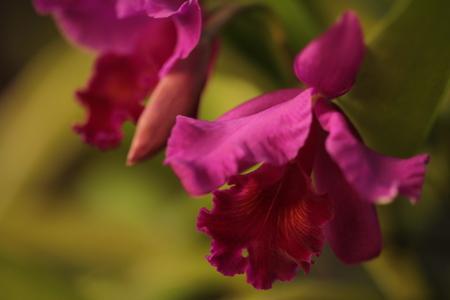Large flowers burgundy orchid varieties on a branch with CATTLEYA orihidey garden. Thailand