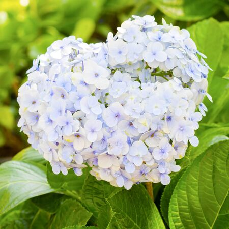 bigleaf hydrangea: Hydrangea, Big-leaf Hydrangea, Laurustinus, beautiful blue flowers blooming in the garden in summer. Stock Photo