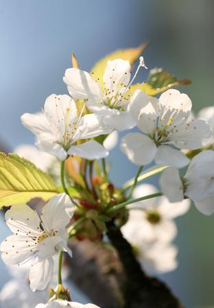 alberi da frutto: primavera nel giardino - fiorenti alberi da frutto