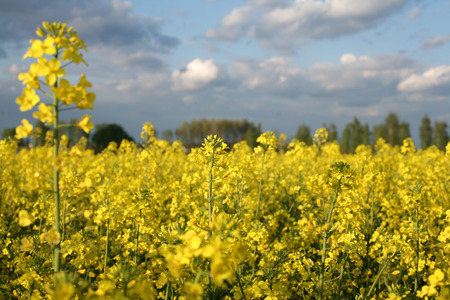 coleseed: view of flowering field of rapeseed.Plant for green energy and oil industry