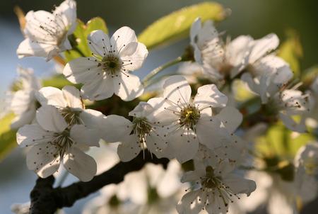 flourishing: the spring in the garden - flourishing fruit trees